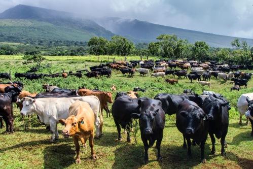 Maui-Cattle-Co.-The-Best-JPEG-1070-copy
