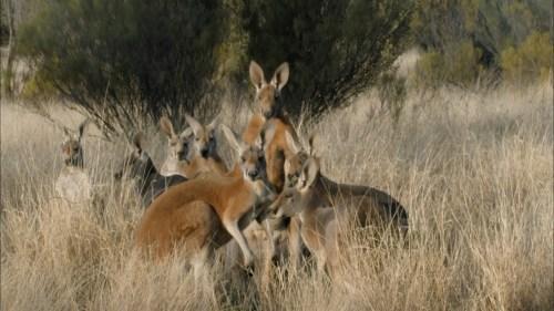 kangarooz